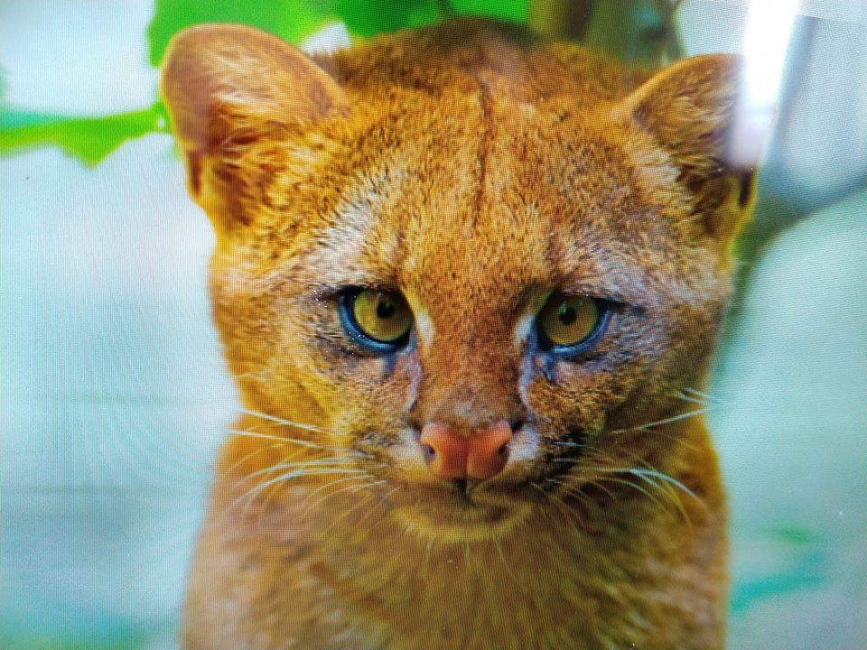 Alaska Destello Museo Guggenheim  Surpresa, gatinho adotado na Argentina era um puma selvagem | ND