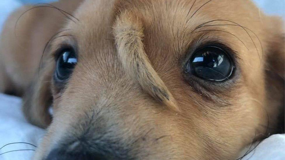 """O pequeno Narwhal ainda não está disponível para a adoção. Segundo os voluntários do centro de animais, ele deve ficar mais tempo ali para que sejam avaliados possíveis problemas causados pelo """"chifre"""" no futuro. - Reprodução/Facebook"""