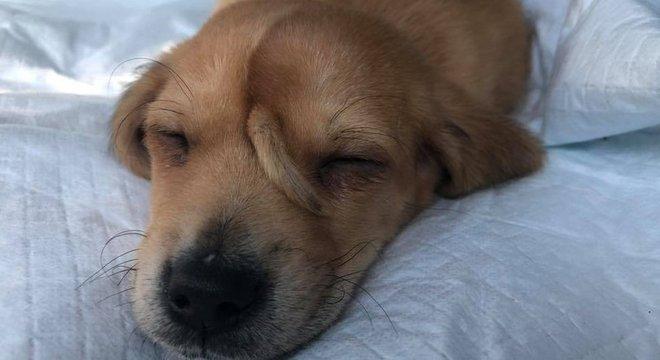 """Com apenas 10 semanas de vida, o cãozinho Narwhal chamou atenção por uma característica especial: um rabo no meio da testa. O """"cão unicórnio"""" foi adotado por um centro de acolhimento especializado em animais com necessidades especiais no estado americano do Missouri. - Reprodução/Facebook"""