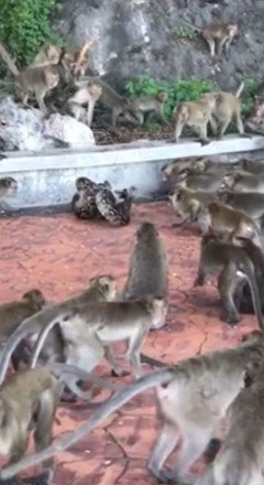 A cobra não se importou com o fato de estar cercada por dezenas de primatas e enforcou o animal sem muitos problemas - Foto: Reprodução/Daily Mail