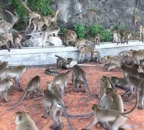 Os outros macacos tentaram se aproximar para ajudar o colega, mas os esforços foram em vão - Foto: Reprodução/Daily Mail