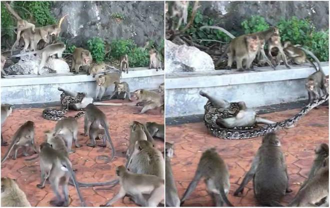 Uma píton deu uma demonstração de força ao estrangular e matar um macaco na frente de seu bando, em um parque ambiental de Prachuab Khiri Khan, na Tailândia - Foto: Reprodução/Pixabay