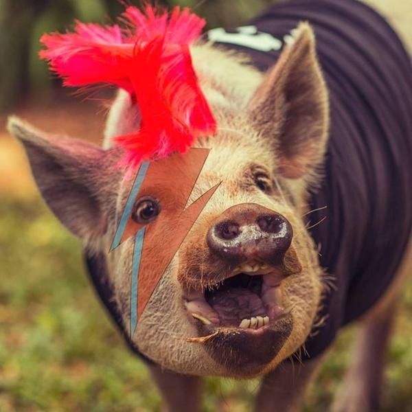 Jamon - Todo cor de caramelo, Jamon é um mini porco de três anos. Criado por uma família paulista desde filhote, o animal é celebridade na internet. Alimentado com uma dieta vegetariana cheia de verduras, frutas e ração, ele é o astro de uma página no Facebook com mais de 350 mil curtidas. - Crédito: reprodução da internet/33Giga/ND