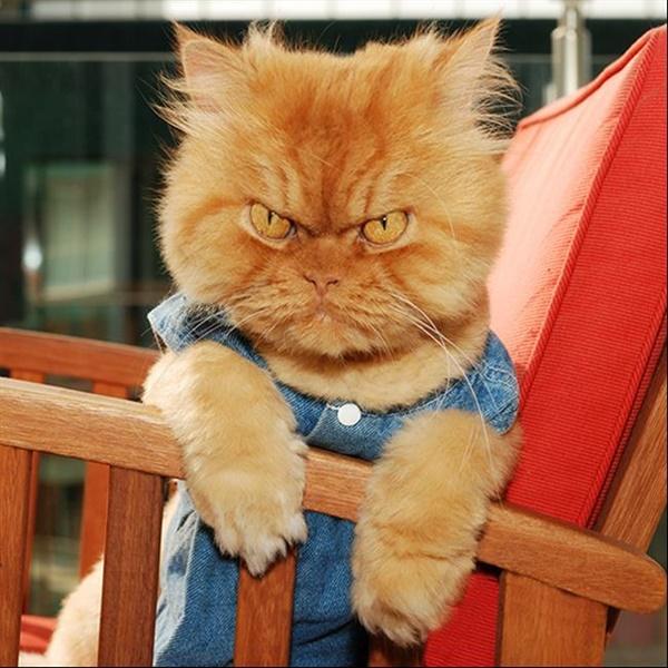 Garfi - Também conhecido como o gato mais zangado do mundo, Garfi vive na Turquia com uma família grande e cheia de amigos felinos. Apesar da carranca, o dono dele diz que ele é muito dócil, além de ser um modelo profissional. Veja mais: https://goo.gl/VCT4a2 - Crédito: reprodução da internet/33Giga/ND