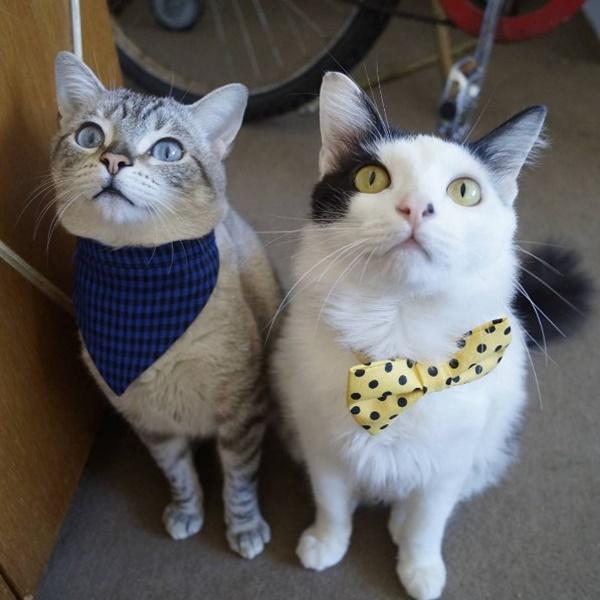 """Gato Miu (a esquerda) e Gato Mu (a direita) - Sob o slogan de """"Adotei humanos e me arrependi"""", o simpático gato Miu compartilha no Twitter (@wtfmiu) como é o dia a dia com seu casal de humanos. O felino relata a experiência em companhia de seu irmão Mu. Ambos têm o desejo de dominar o mundo e implementar projetos interessantes à toda nação felina, como o """"Minha caixa, minha vida"""". Veja mais: https://goo.gl/jRXxFg - Crédito: reprodução da internet /33Giga/ND"""