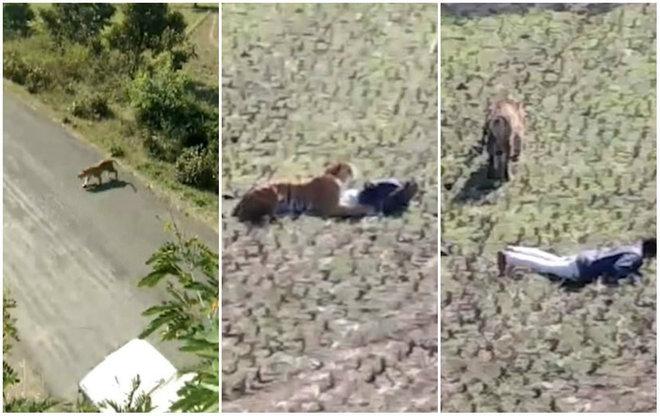Um homem na Índia pensou muito rápido para se livrar do ataque mortal de um tigre raivoso: simplesmente se fingiu de morto - Reprodução/Vídeo/Daily Mail