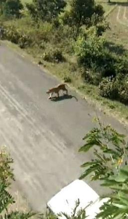 O vídeo foi gravado no último sábado (25), em uma vila na região de Maharashtra, por um homem escondido em uma árvore, e mostra o animal descontrolado indo para cima de um grupo de pessoas - Reprodução/Vídeo/Daily Mail