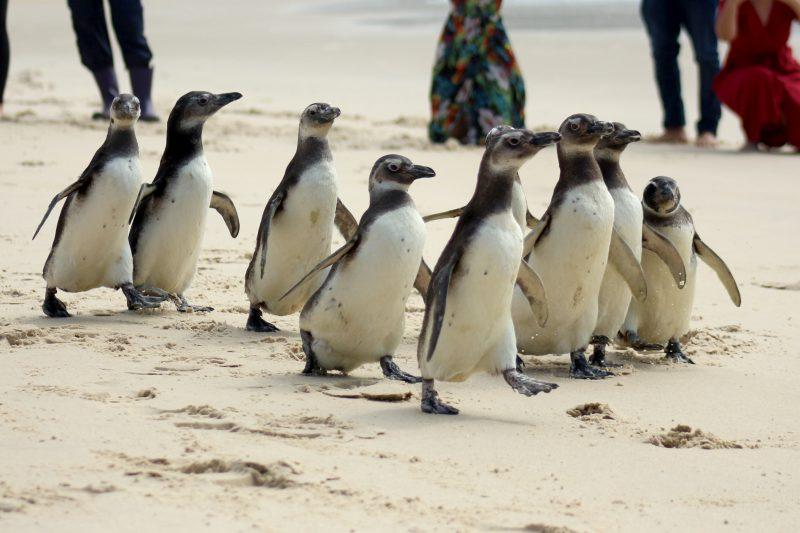Pinguim-de-magalhães é a espécie mais encontrada – Foto: PMP-BS R3/Nilson Coelho/Divulgação/ND