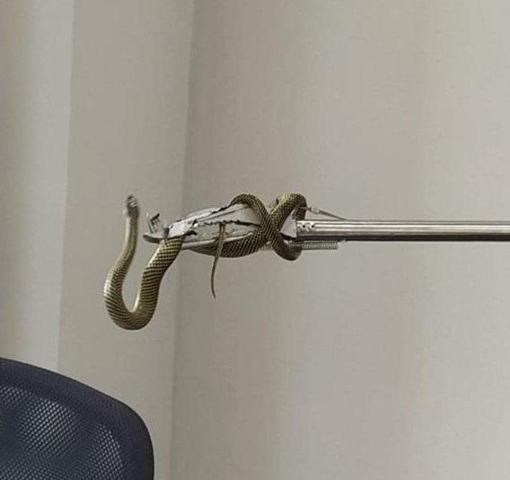 Cobra foi capturada em agência bancária e devolvida à natureza – Foto: Bombeiros Voluntários