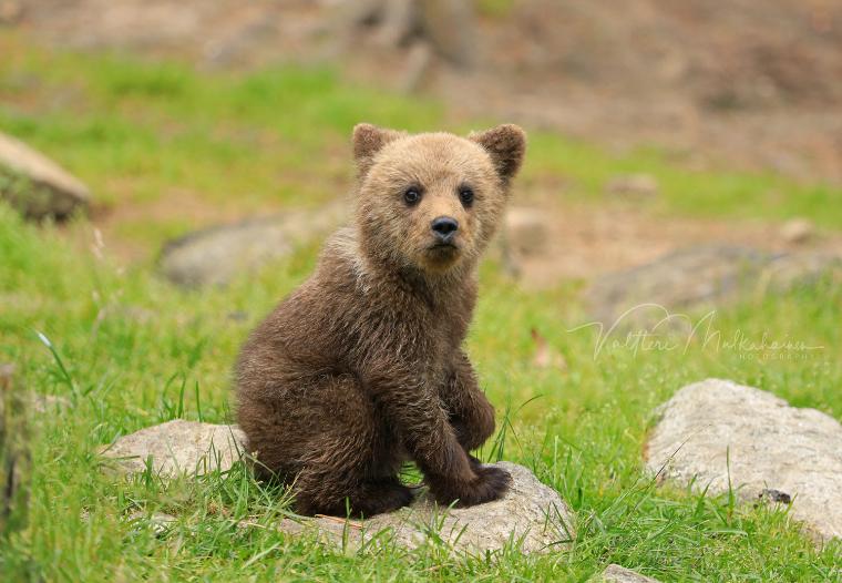 Durante a temporada de caça de 2019, o Instituto Finlandês de Recursos Naturais estimou uma população de cerca de 2000 ursos no país - Valtteri Mulkahainen/ND