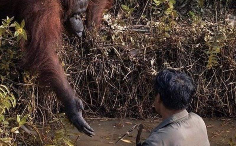 Orangotango estende a mão para socorrer o guarda – Foto: Reprodução/Borneo Orangutan Survival Foundation/Anil Prabhakar