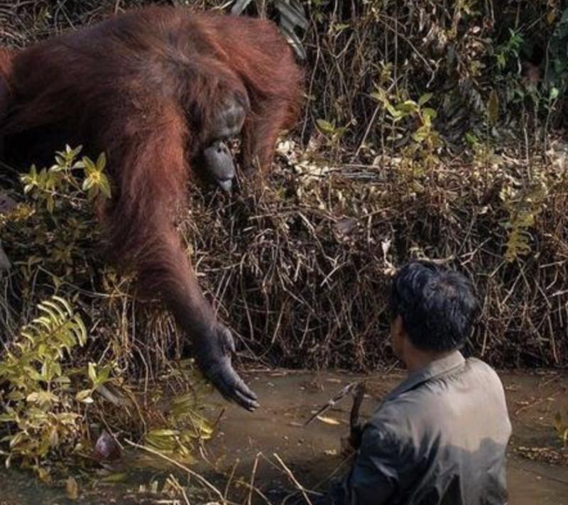A foto na íntegra – Foto: Reprodução/Borneo Orangutan Survival Foundation/Anil Prabhakar