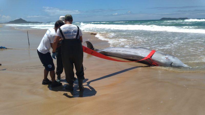 Uma baleia rara foi encontrada morta numa praia na Guarda do Embaú. A fêmea adulta de 6,2 metros foi encontrada durante o monitoramento de praias pela equipe do Instituto Australis na última quinta-feira (13). - Instituto Australis/Divulgação