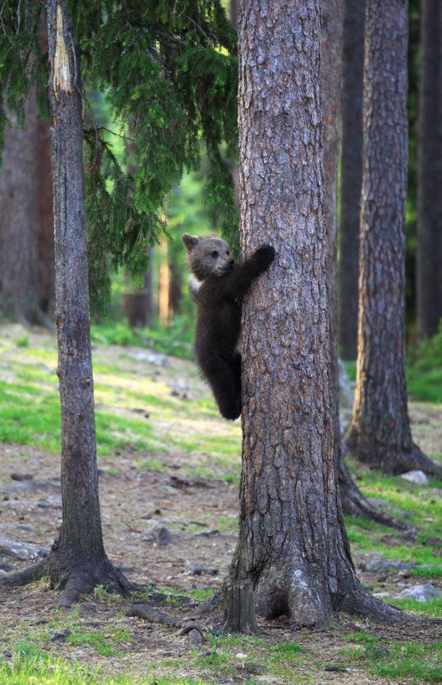 Apesar do tamanho, os ursos são ágeis e conseguem se movimentar silenciosamente quando detectam a presença de pessoas - Valtteri Mulkahainen/ND