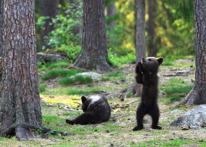Como estava em um abrigo a cerca de 50 metros de onde acontecia toda a brincadeira dos animais, ele conseguiu fotografar de forma perfeita - Valtteri Mulkahainen/ND
