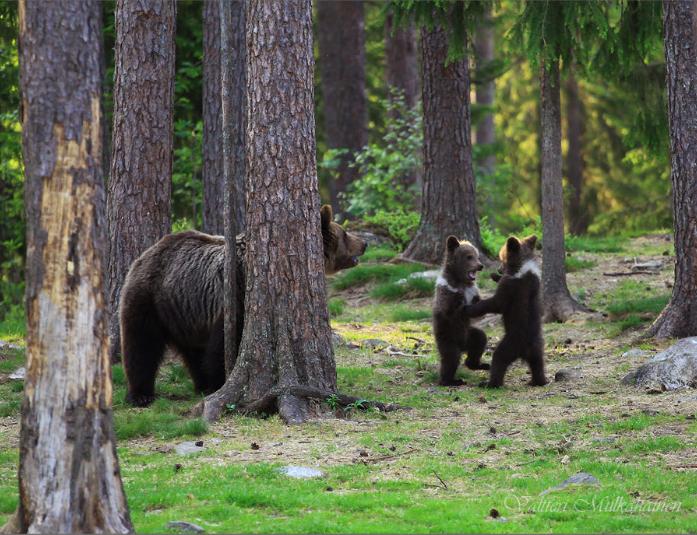Chegando lá, se deparou com uma das cenas mais mágicas que ele já viu. Durante as explorações, ele notou um urso adulto cercado por três filhotes aproveitando o tempo para brincar - Valtteri Mulkahainen/ND