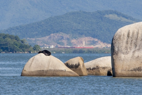 """Um leão-marinho-sul-americano foi visto tomando banho de sol na Praia das Palmeiras, região continental de Florianópolis, em 2016. O animal subiu em uma das pedras do local conhecido como """"laje da pescadinha"""" e atraiu os olhares dos curiosos. - Flávio Tin/ND"""