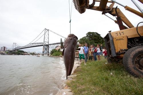 Ameaçado de extinção, um exemplar de mero gigante foi encontrado na Beira-mar Norte em 2012. O peixe gigante do Atlântico tem sua pesca proibida. A estimativa é que o animal tivesse 2,5 metros e 400 kg. - Rosane Lima/ND