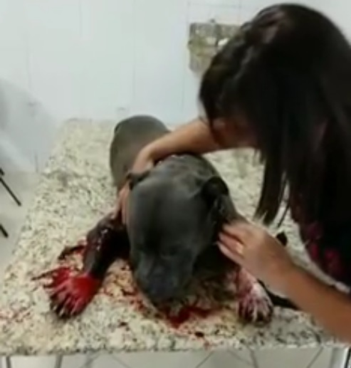 Pitbull é segundo cão a ser atingido por policiais militares em menos de 24 horas em Itajaí – Foto: Facebook/Divulgação/ND