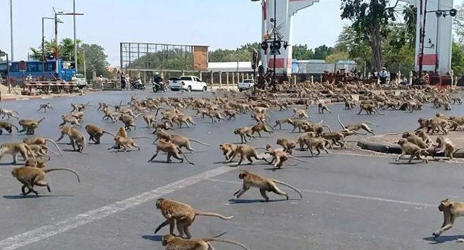 O macaco que tem a banana na mão se tornou alvo de toda a gangue rival. - Reprodução/Vídeo/Daily Mail