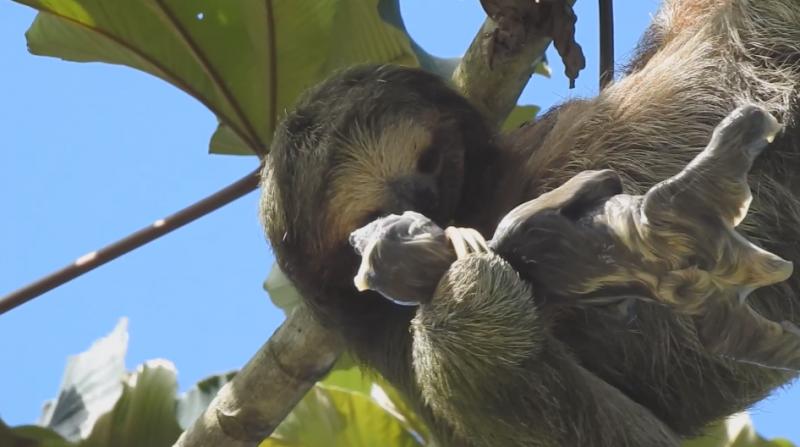 Mamãe preguiça abraça e acaricia seu filhote recém-chegado ao mundo – Foto: Reprodução/ND