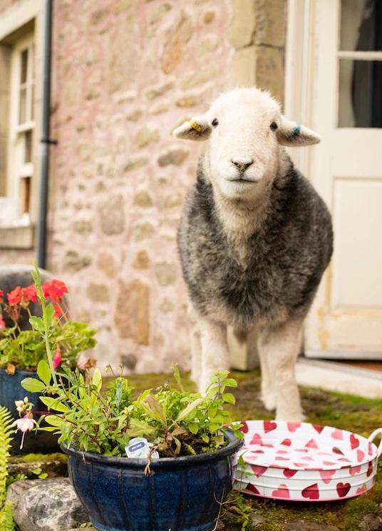 Meditação guiada com ovelhas sonolentas (https://bit.ly/2K6u1vz) – Preço: a partir de R$ 48 por pessoa - Crédito: Divulgação/33Giga/ND