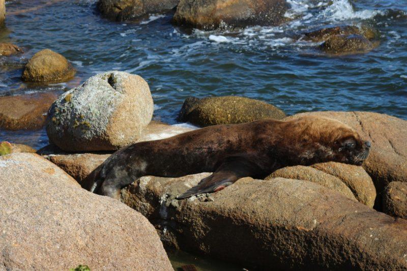"""Caso cachorros tentem atacar o animal marinho, a recomendação é de que a população tente afastar os espécies. """"Evite tirar fotos com o uso de flash. Nunca forneça alimento ou force o animal a entrar na água, pois ele quer apenas descansar. Não se aproxime com embarcações pois o barulho assusta e estressa o animal"""". Para informações ou dúvidas, ligue 0800 642 3341. - R3 Animal/Divulgação"""