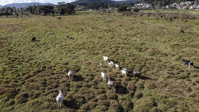 Gado está perdendo peso por falta de pasto. Situação também afeta a produção de leite – Foto: Anderson Coelho/ND