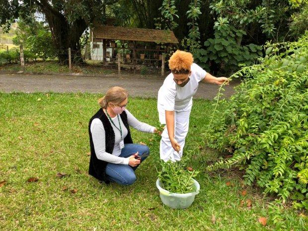 Hortaliça é conhecida como planta vegetal – Foto: Divulgação/Epagri/ND