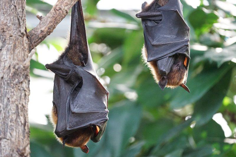 Estudo ainda sugere que morcegos podem ter infectado humanos diretamente – Foto: Pixabay/Divulgação/ND