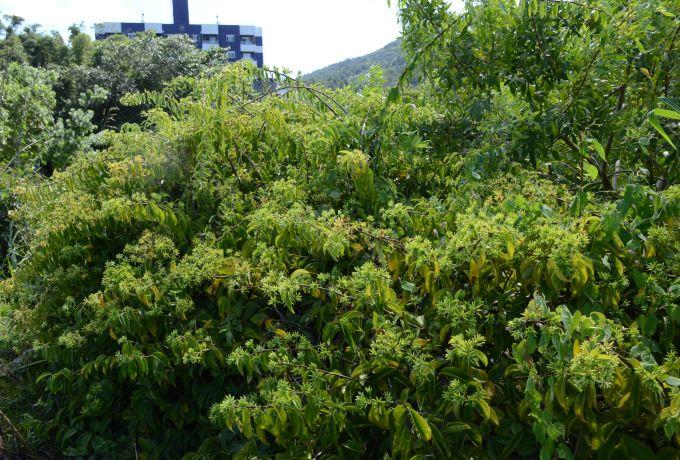As folhas jovens podem ser consumidas de diversas formas – Foto: Aires Mariga/Epagri/ND