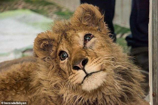Torturadores quebram pernas de filhote de leão para ele posar para fotos com turistas – Foto: Karendallakyan