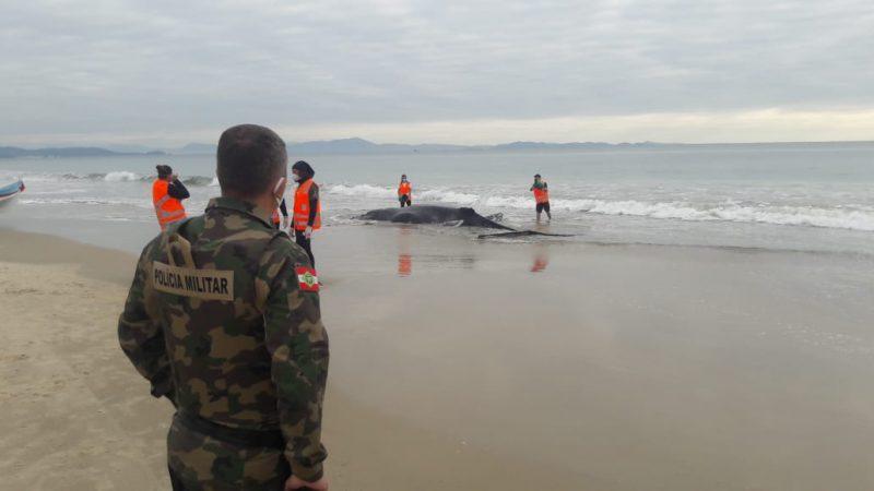 Baleia encalhada na praia da Lagoinha – Foto: Polícia Militar Ambiental/Divulgação/ND