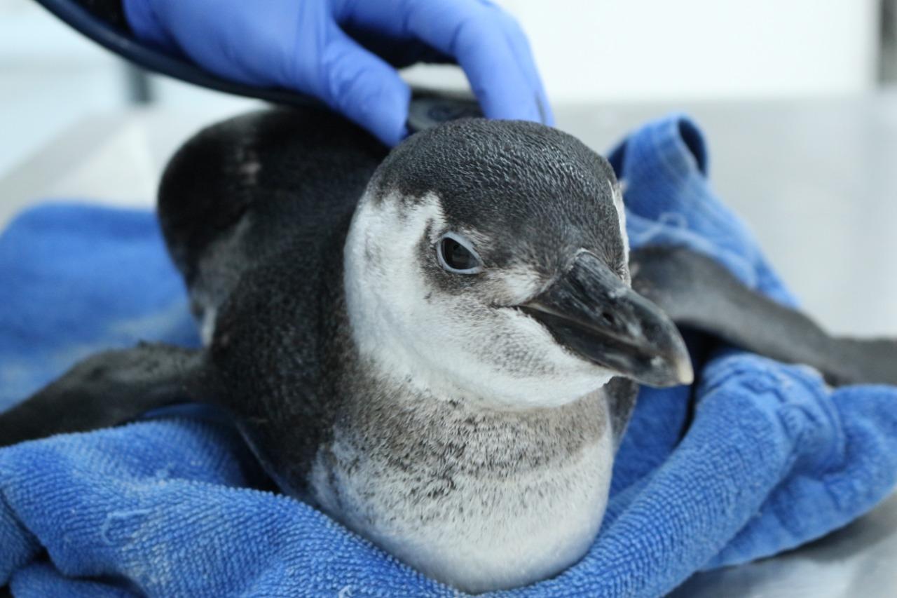 Projeto registra 105 pinguins-de-Magalhães nas praias de ...
