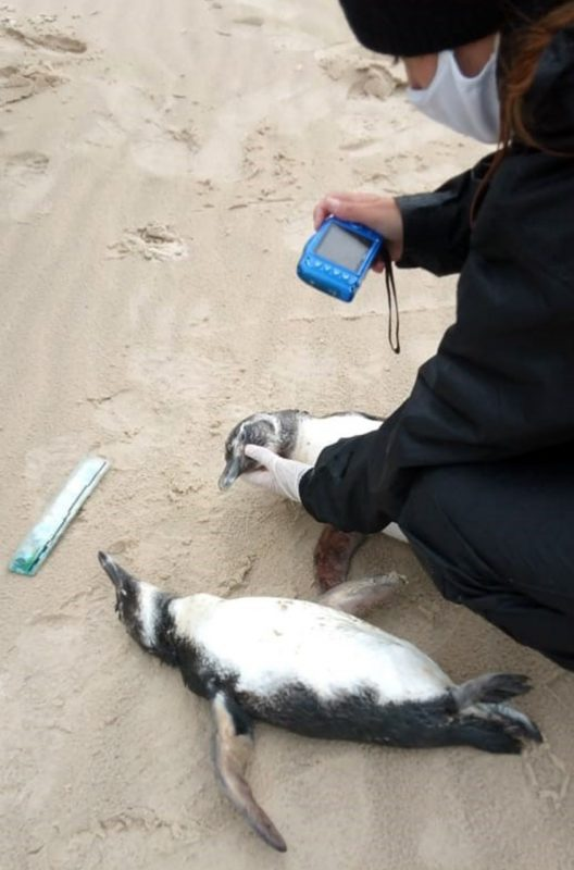 Apenas um pinguim foi resgatado vivo – Foto: Rodrigo Tiburski/R3 Animal/ND
