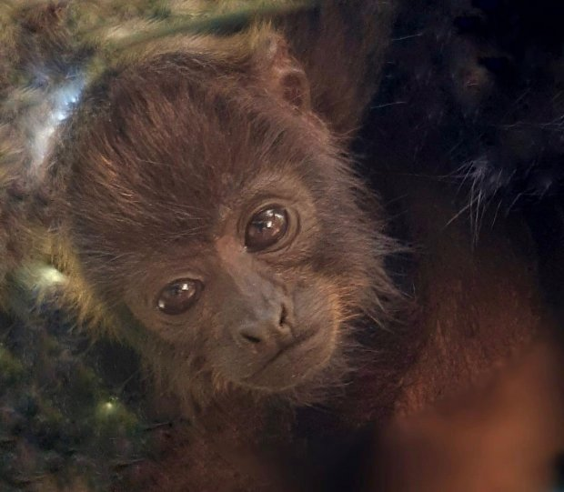 Os filhotes estão sob os cuidados da família de bugios – Foto: Fotos: Divulgação/ Instituto Espaço Silvestre