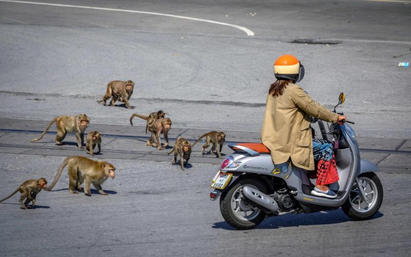 Macacos na Tailândia – Foto: Mladen Antonov/AFP/Reprodução/The Telegraph