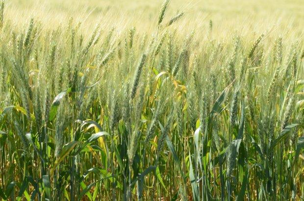 Governo de Santa Catarina incentiva plantio de trigo, triticale e cevada – Foto: Jefferson Baldo/Arquivo/Secom