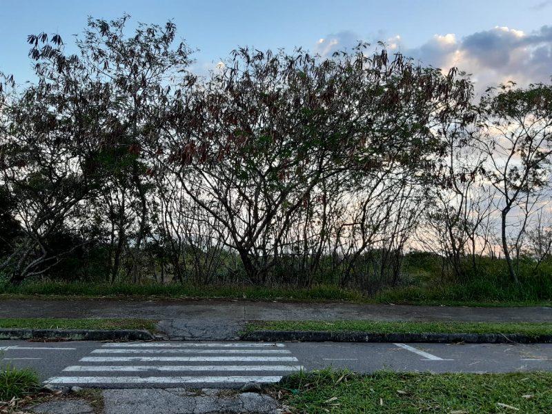 Leucenas plantadas na Via Expressa Sul – Foto: Carolina Custódio Amorim/Divulgação/ND