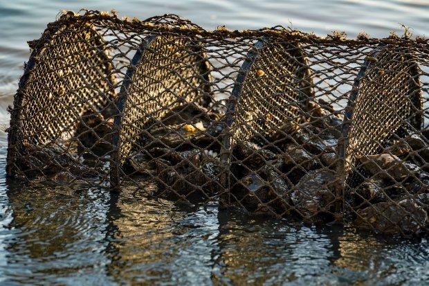 Cultivos de moluscos foram interditados em Florianópolis e Palhoça – Foto: Ricardo Wolffenbüttel/Secom/Divulgação/ND
