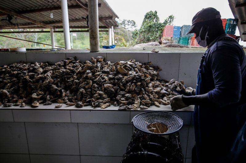 Mar de oportunidades: funcionário mexe nas ostras em uma fazenda marinha localizada no Ribeirão da Ilha, em Florianópolis – Foto: Anderson Coelho/ND