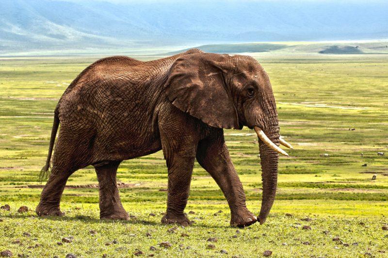 O estudo também apontou declínios alarmantes de algumas espécies. Populações de elefantes africanos diminuíram 98% entre 1985 e 2010, muito por causa do crescimento da caça em regiões do continente africano – Foto: Reprodução/Pixabay