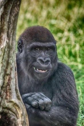 A caça ilegal também vitimou 87% da população de gorilas em reservas orientais da República Democrática do Congo, entre 1994 e 2015 – Foto: Divulgação