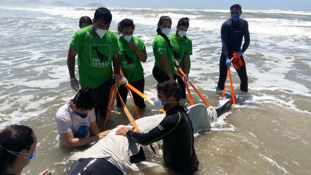 A Cachalote Anão foi resgatado na praia da Ribanceira, em imbituba, na manhã desta segunda-feira (19) - Reprodução/PMP/ND