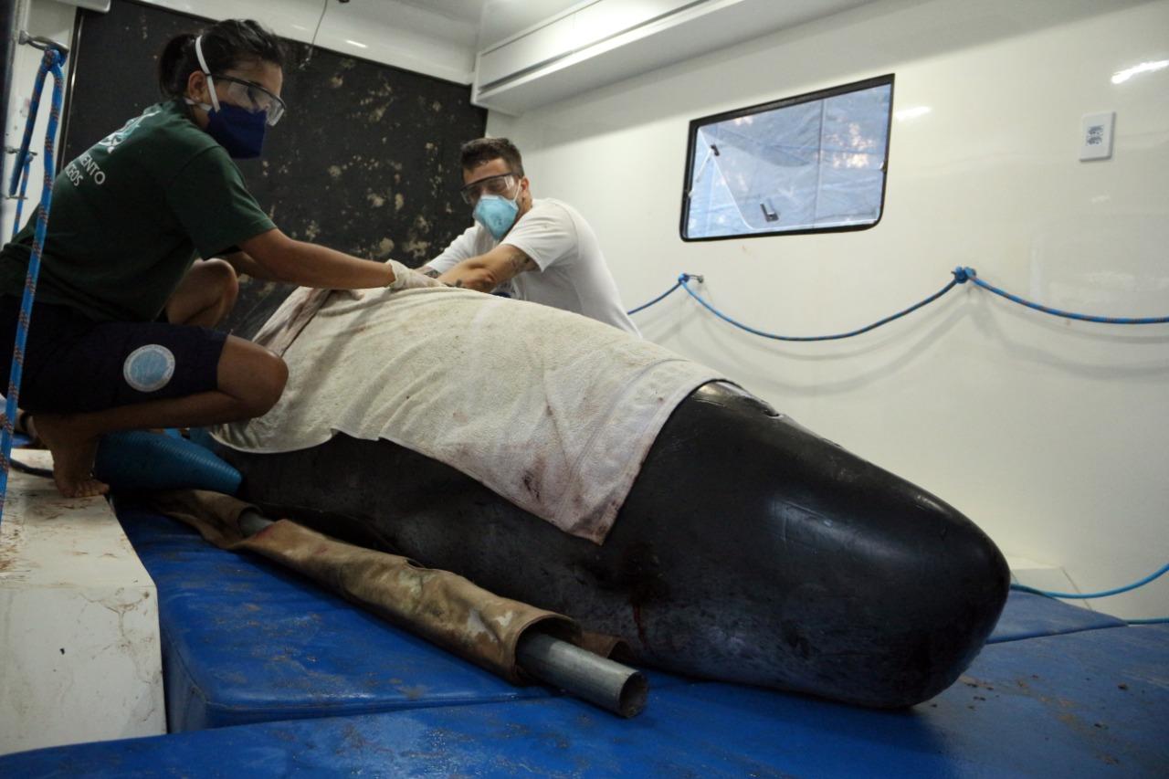 De acordo com a médica veterinária e responsável técnica do PMP-BS, em Florianópolis, Marzia Antonelli, a baleia estava prostrada, bastante estressada, mas responsiva aos reflexos vitais. - Nilson Coelho/R3 Animal