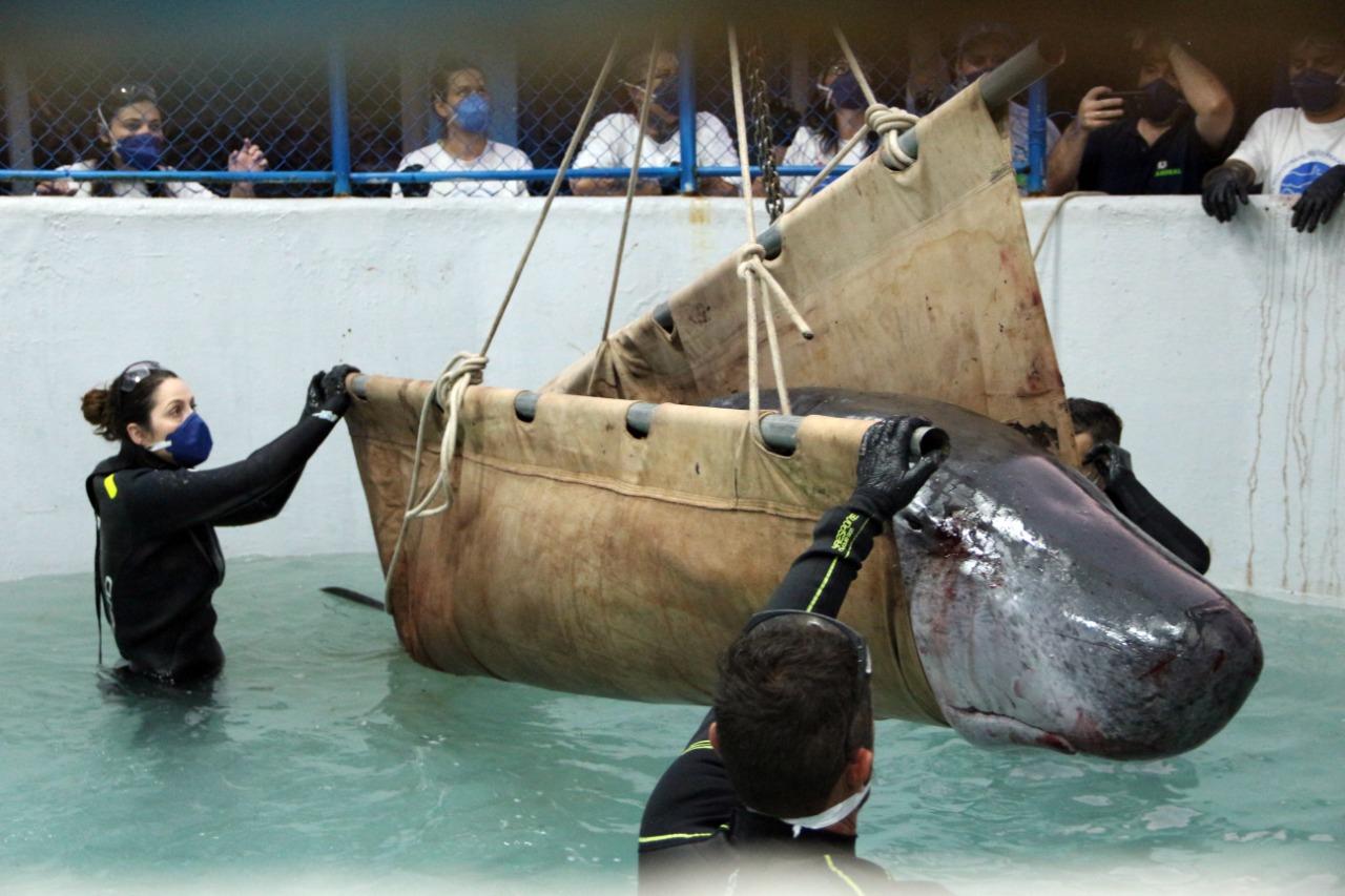 Ela foi medicada e hidratada, e ficará sendo monitorada 24 horas por dia em uma piscina específica para cetáceos. O animal mede 3 metros de comprimento e pesa 370 quilos. - Nilson Coelho/R3 Animal