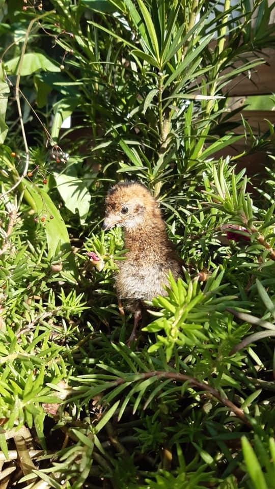 Galinha acolhe filhote órfão de aracuã no Zoobotânico de Brusque - Zoobotânico de Brusque/Divulgação