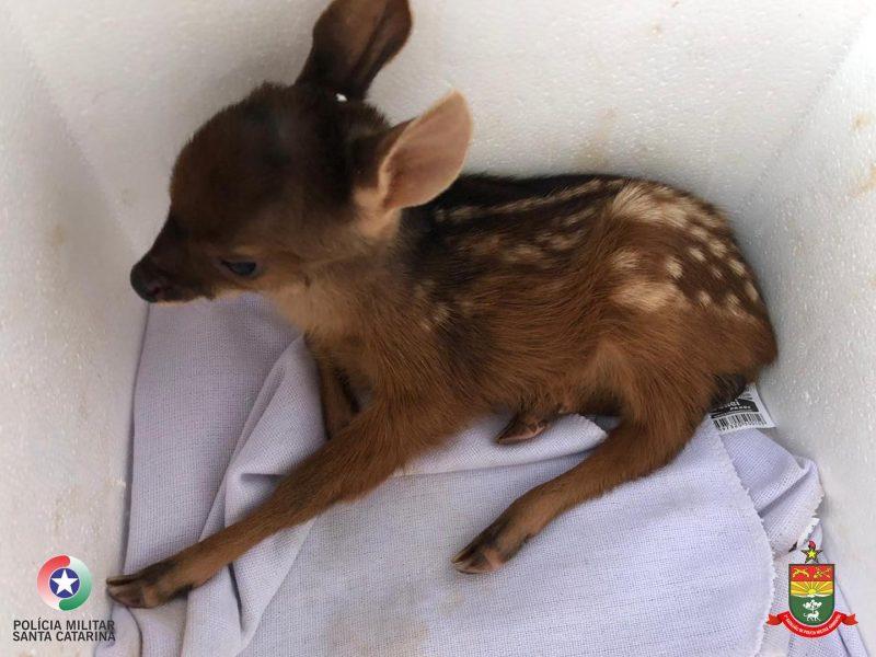 O filhote foi resgatado e está recebendo os cuidados necessários. – Foto: PMA/Reprodução
