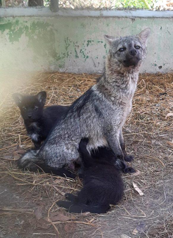 Mamãe e filhotes passaram por reabilitação em Florianópolis. – Foto: Parque Estadual das Araucárias/Divulgação