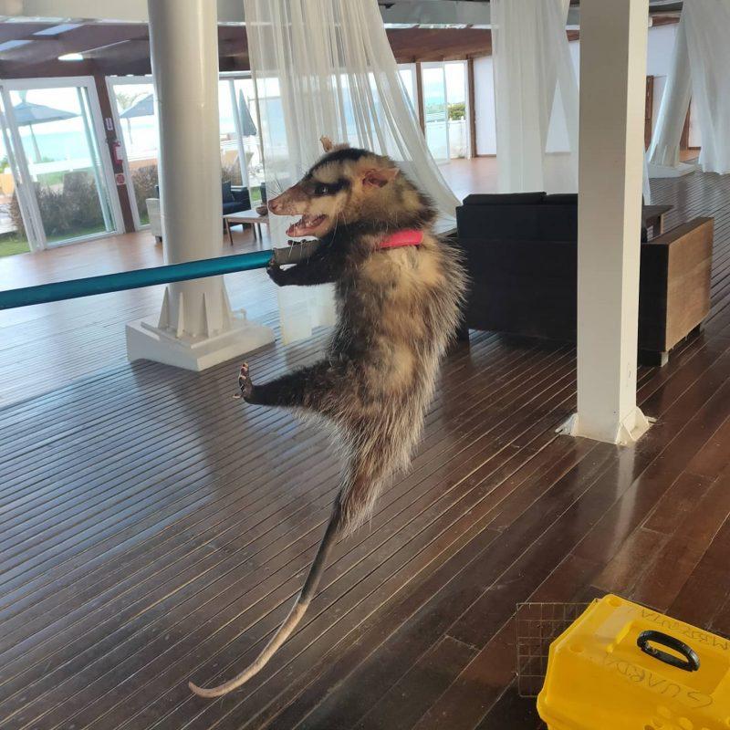 """Gambá-de-orelha-branca se """"hospedou"""" em um hotel na praia do Estaleirinho, em Balneário Camboriú. – Foto: Reprodução/GMBC"""